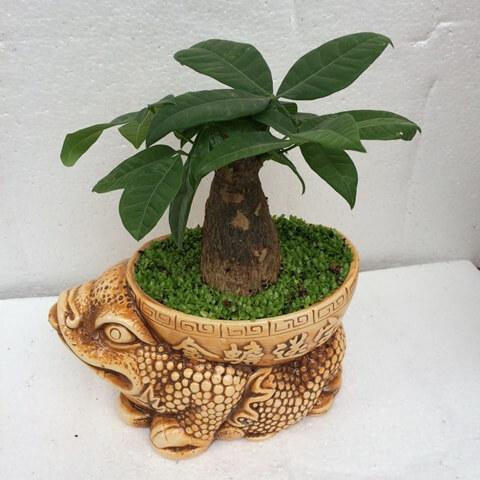 Cây kim ngân có thể trồng trông chậu nhỏ hoặc to