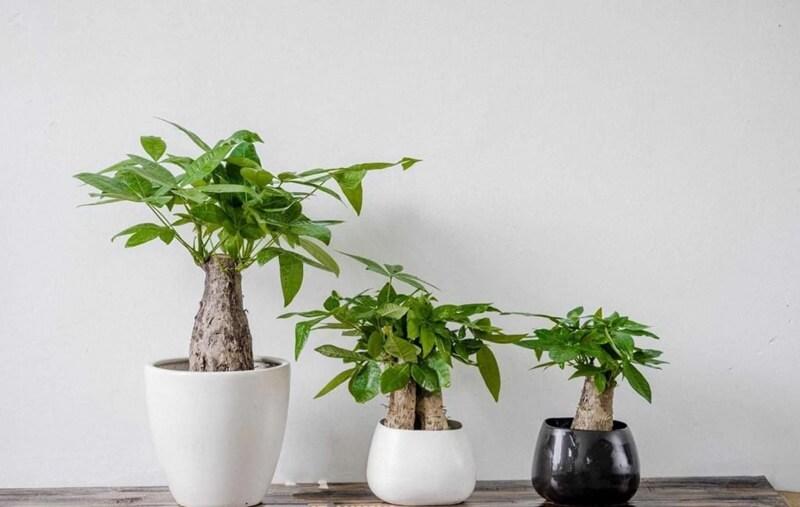 Cây kim ngân còn được gọi là cây tiền hay cây thắt bím