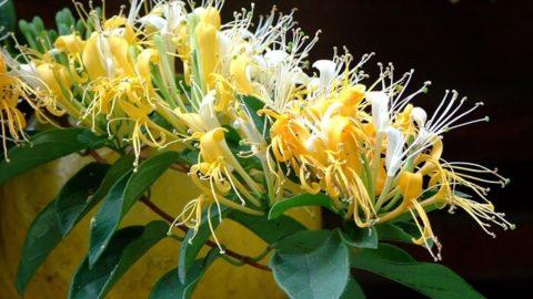 Hình ảnh cây kim ngân hoa 2