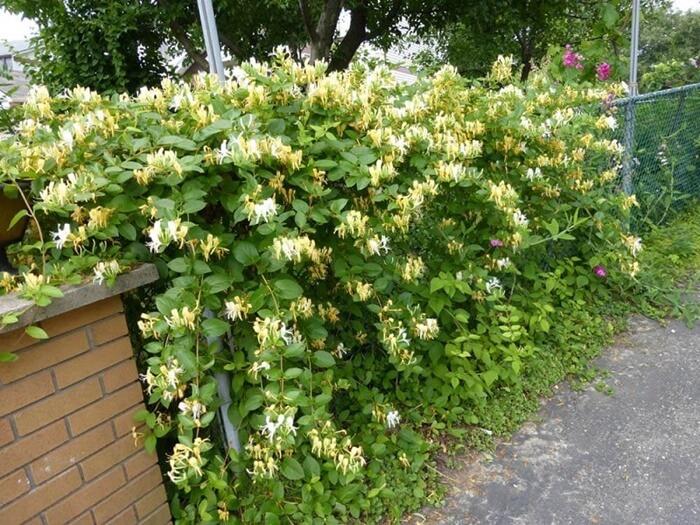 Kim ngân hoa dễ trồng và chăm sóc