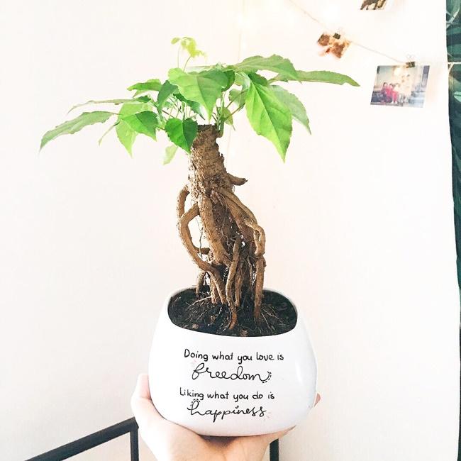 Như tên gọi, cây Hạnh phúc mang ý nghĩa gắn kết các mối quan hệ trong gia đình