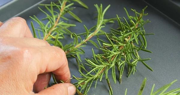 Sấy Hương thảo trong lò để làm khô