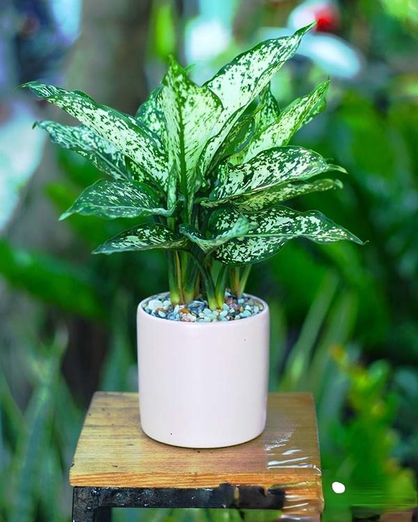 Đặt cây ở vị trí râm mát, tránh nắng gắt