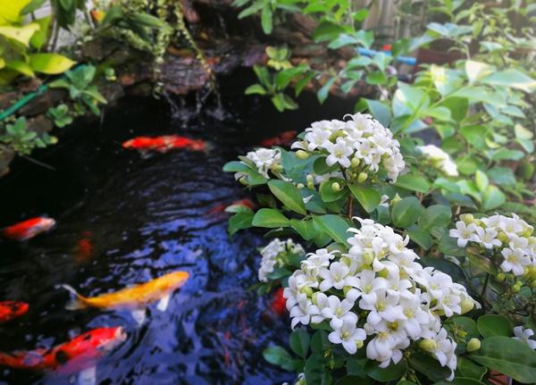 Tưới nước, bón phân đầy đủ để cây phát triển tốt