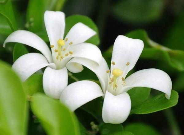 Hoa Nguyệt quế có màu trắng đẹp mắt