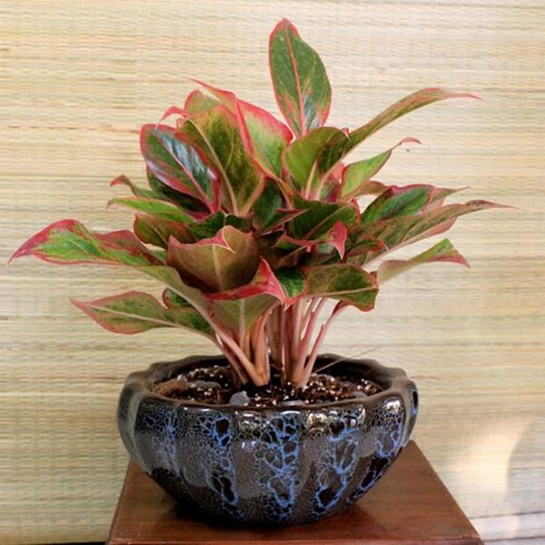 Không gian sống thêm sắc màu với cây Phú quý