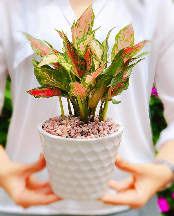 Cây Vạn lộc thường được dùng làm quà tặng trong các dịp lễ