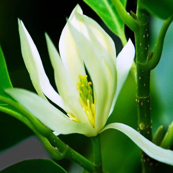 Hoa Ngọc lan thường được trồng làm cảnh