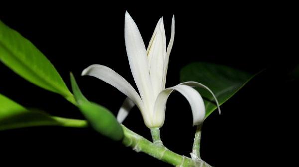 Cây Ngọc lan tượng trưng cho sự bền bỉ, mạnh mẽ