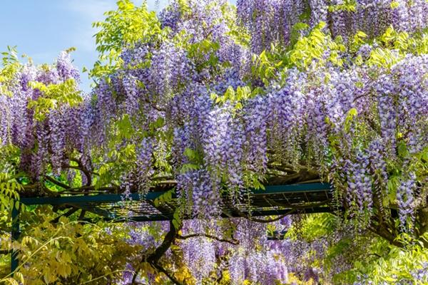 Chiết cành giúp cây sinh trưởng tốt và nhanh ra hoa hơn