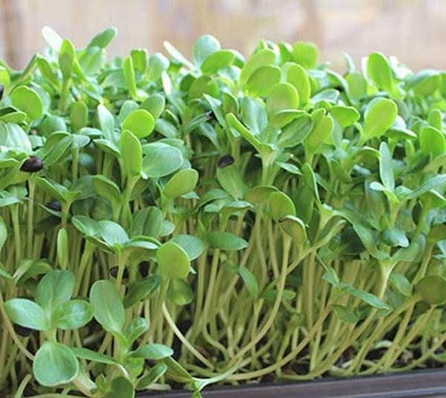 Rau cải con được trồng trên sân thượng