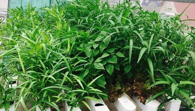 Rau muống được trồng trên sân thượng