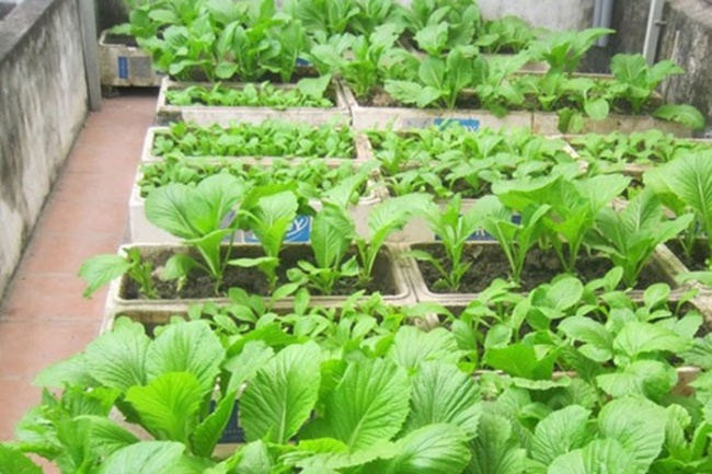 Trồng rau cải trong thùng xốp