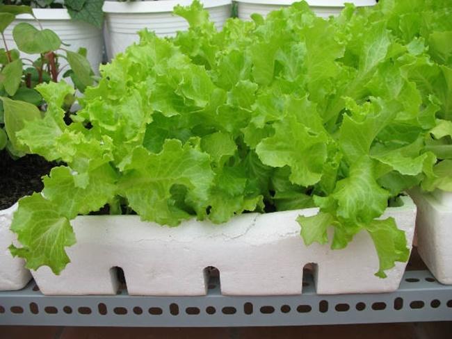 Xà lách là một giống rau dễ trồng