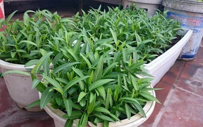 Rau muống trồng trên sân thượng có mái