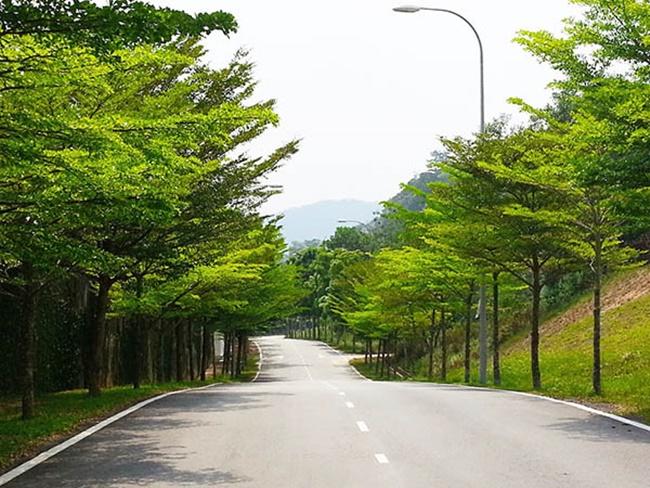 Cây Bàng Đài Loan được trồng dọc các con đường