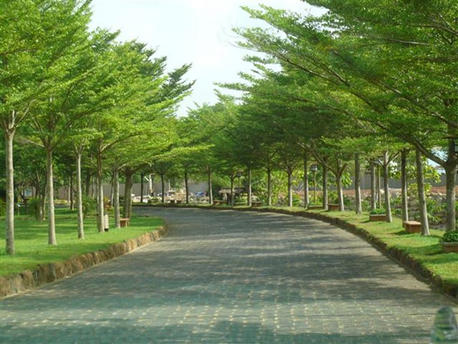 Cây Bàng Đài Loan có khả năng phủ xanh rất tốt