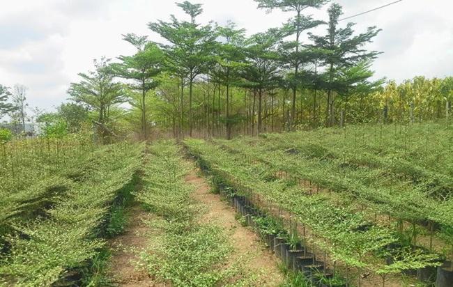 Quá trình trồng cây khá đơn giản