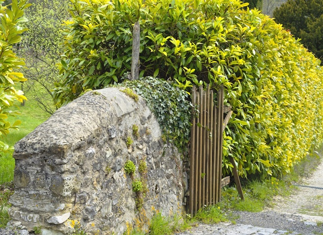 Cây chuỗi ngọc thường được cắt tỉa tạo viền hay làm hàng rào