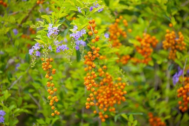Hoa và quả của cây Chuỗi ngọc