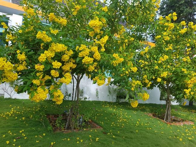 Chăm sóc 1 - 2 cây chuông vàng trong vườn không có gì khó