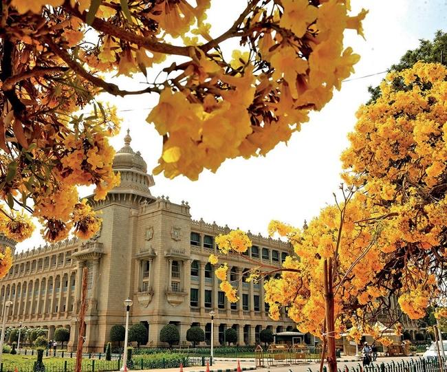 Hoa chuông vàng được trồng nhiều ở các khu vực công cộng