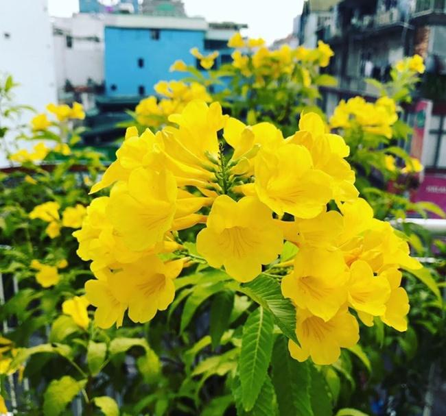 Hoa có dạng chiếc chuông với màu vàng rực rỡ