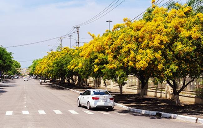Cây thường được trồng làm cảnh ở nhiều khu vực