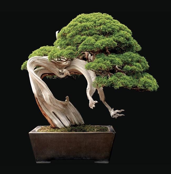 Cây bách, đa bonsai