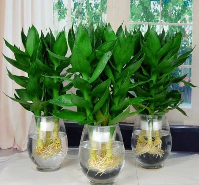 Nhiều người trồng cây phát lộc trong chậu thủy sinh