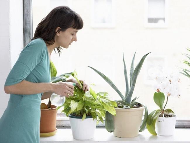 Chăm sóc cây phong thủy trồng trong nhà