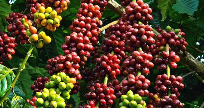 Cây Cà phê