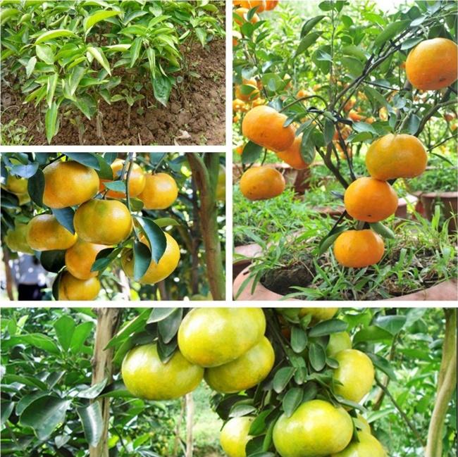 Một số loại cam quýt