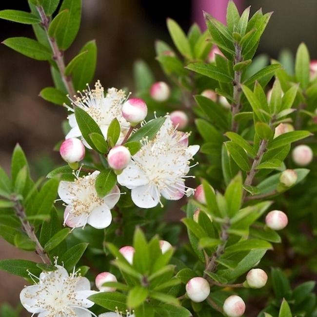 Hoa của cây Hương đào