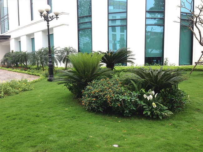 Nên trồng cây vạn tuế ở nơi thoáng đãng