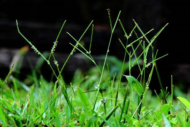 Hoa của cỏ lá gừng thường có 2 - 3 chùm
