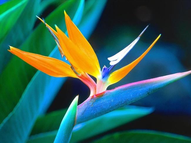 Hoa Thiên điểu nổi bật với nhiều màu sắc rực rỡ