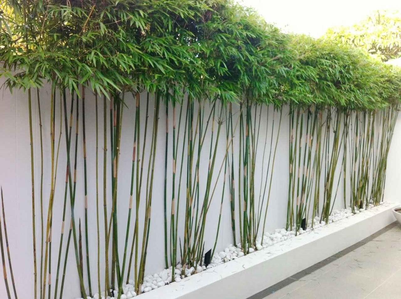 Cây tre trúc được trồng trong vườn