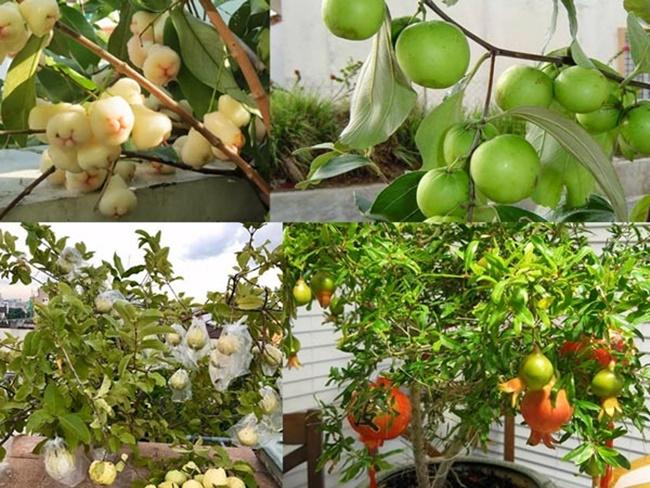 Các loại cây ăn quả cho nhà phố