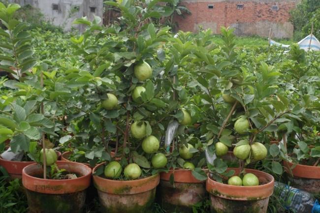 Vườn cây ăn quả cho nhà phố