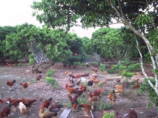 Vườn cây ăn quả và vật nuôi