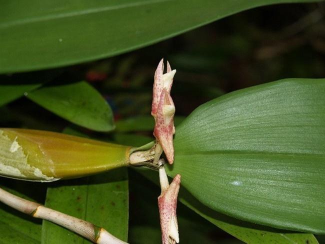 Lan Phích Việt Nam được xem là loại lan có dòng gen quý hiếm
