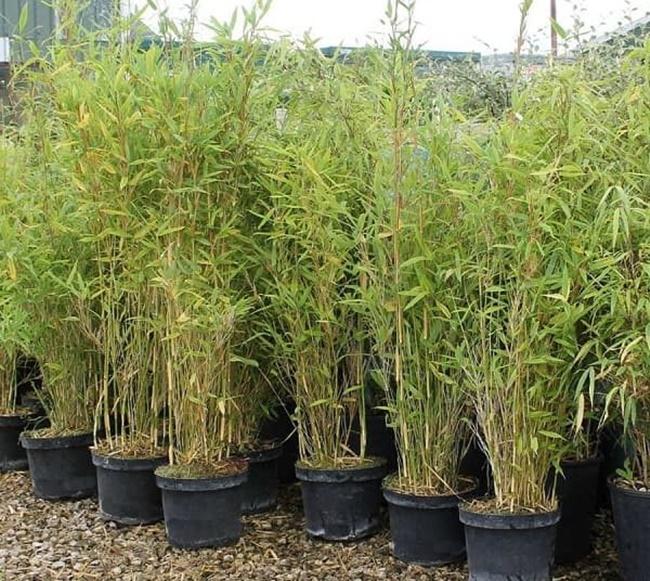 Cách trồng cây tương đối đơn giản