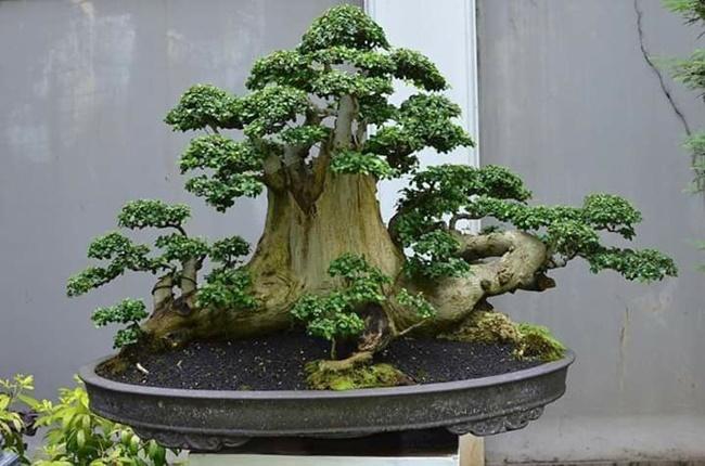 Duối thường được tạo dáng làm bonsai