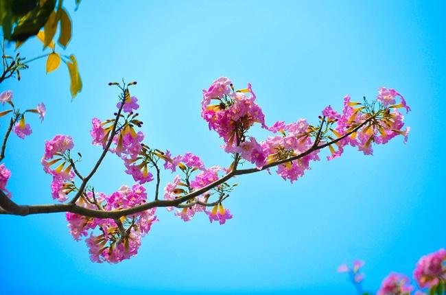 Hoa của cây kèn hồng có màu hồng đẹp mắt