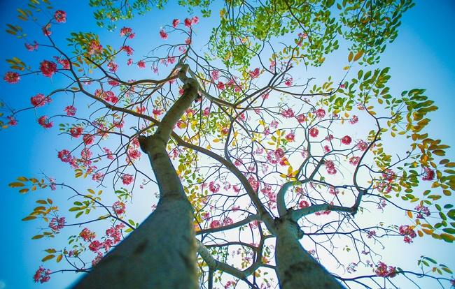Có nhiều phương pháp để nhân giống cây hoa kèn hồng