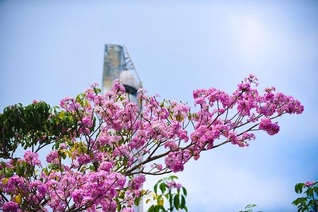 Vẻ đẹp hoa kèn hồng 3