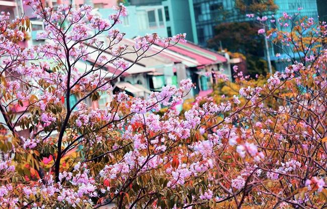Vẻ đẹp hoa kèn hồng 4
