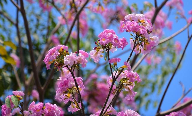 Vẻ đẹp hoa kèn hồng