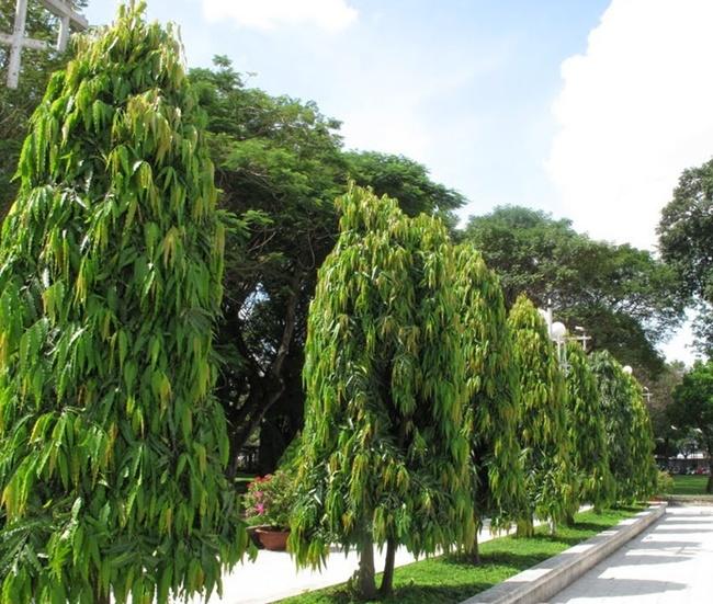 Hoàng lan được trồng làm cảnh ở nhiều khu vực